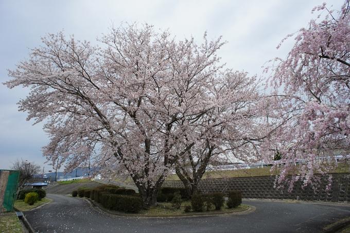 京都桜速報2019_42 No11