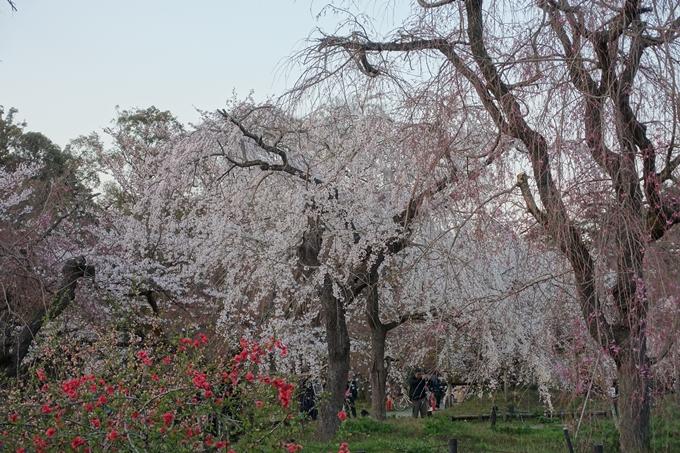 京都桜速報2019_23 No11