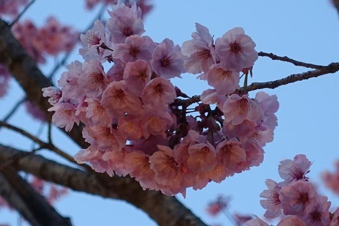 京都桜速報2019_23 No17