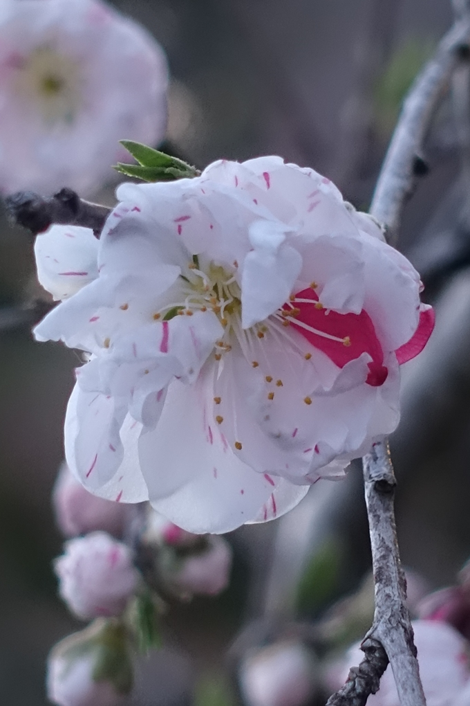 京都桜速報2019_23 No21