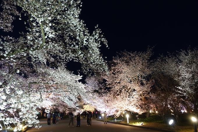 京都桜速報2019_23 No24