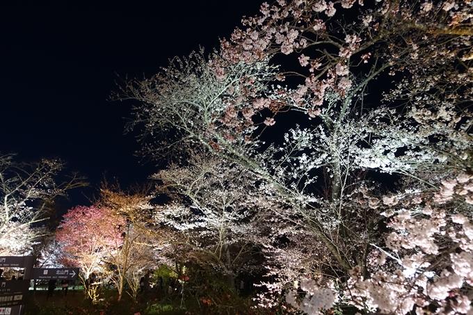 京都桜速報2019_23 No26