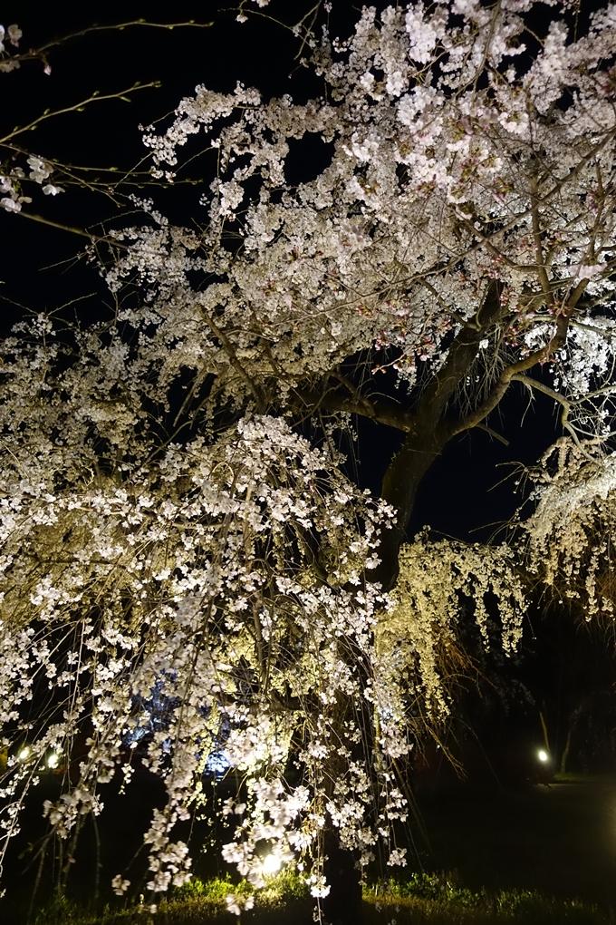京都桜速報2019_23 No30