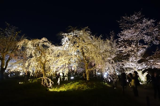 京都桜速報2019_23 No32