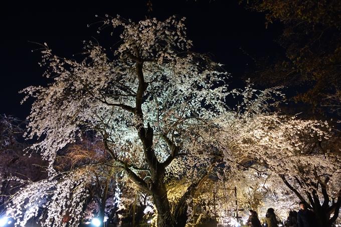 京都桜速報2019_23 No33