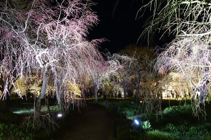 京都桜速報2019_23 No35