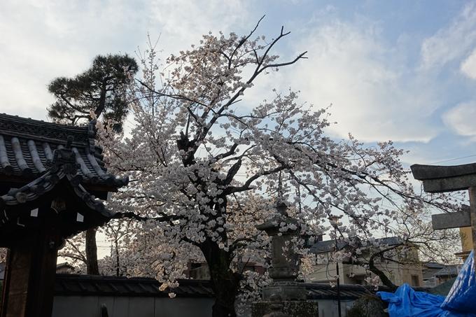 京都桜速報2019_24 No7