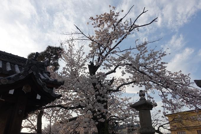 京都桜速報2019_24 No8
