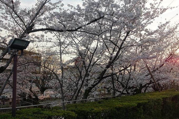 京都桜速報2019_26 No3