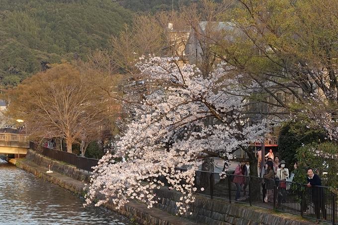京都桜速報2019_26 No7