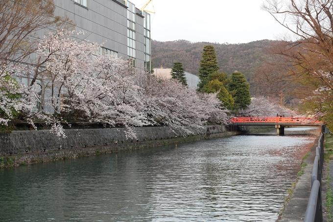 京都桜速報2019_26 No8