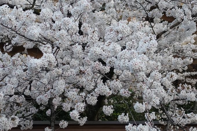 京都桜速報2019_26 No11