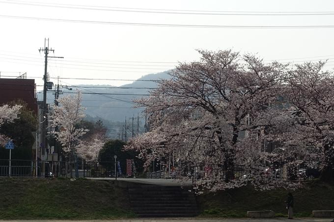 京都桜速報2019_27 No6