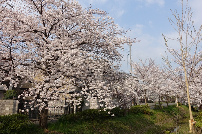 京都桜速報2019_27 No12