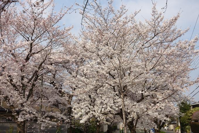 京都桜速報2019_27 No14