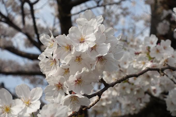 京都桜速報2019_27 No15