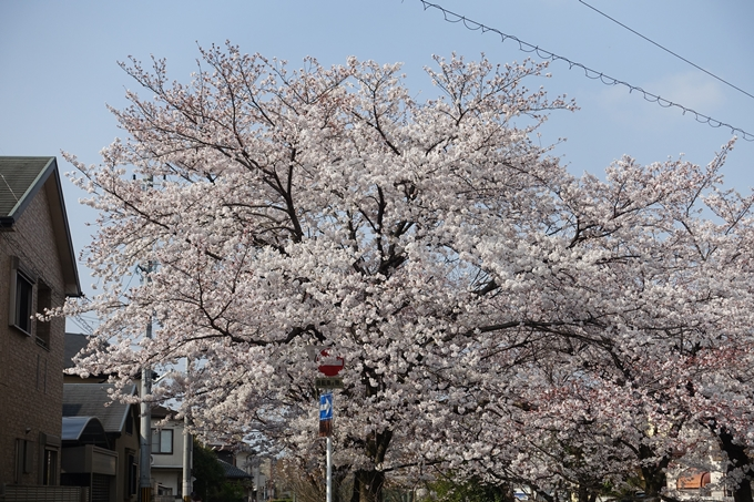 京都桜速報2019_27 No23