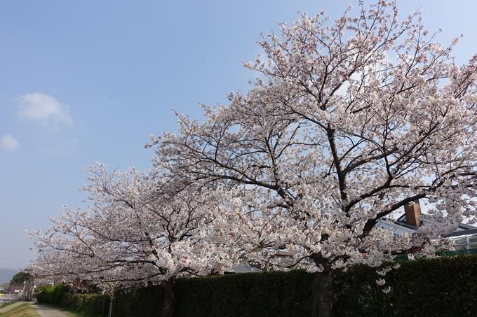 京都桜速報2019_28 No12
