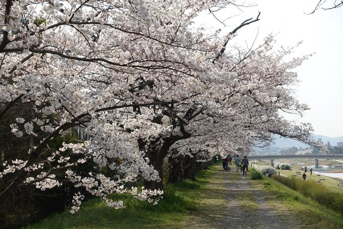 京都桜速報2019_28 No13