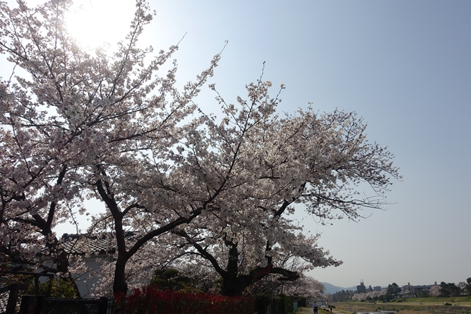 京都桜速報2019_28 No14