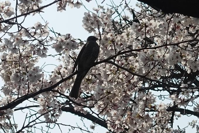 京都桜速報2019_28 No15