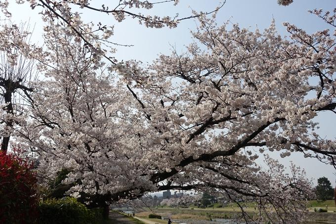 京都桜速報2019_28 No16