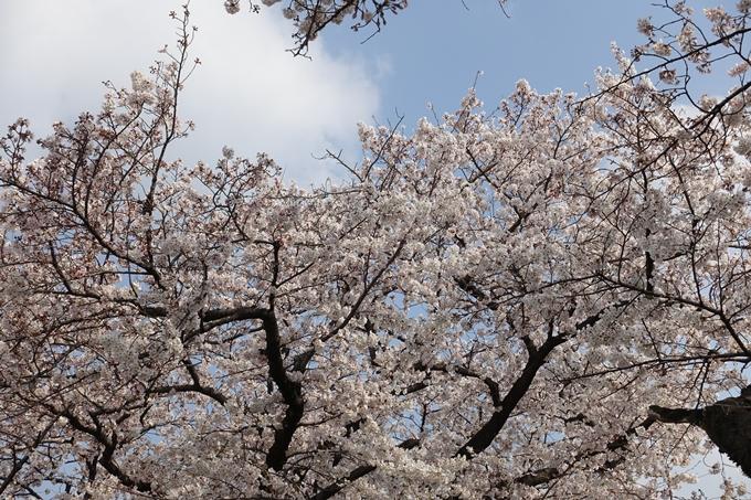 京都桜速報2019_28 No20