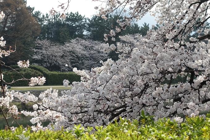 京都桜速報2019_28 No24