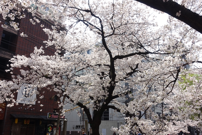 京都桜速報2019_29 No6