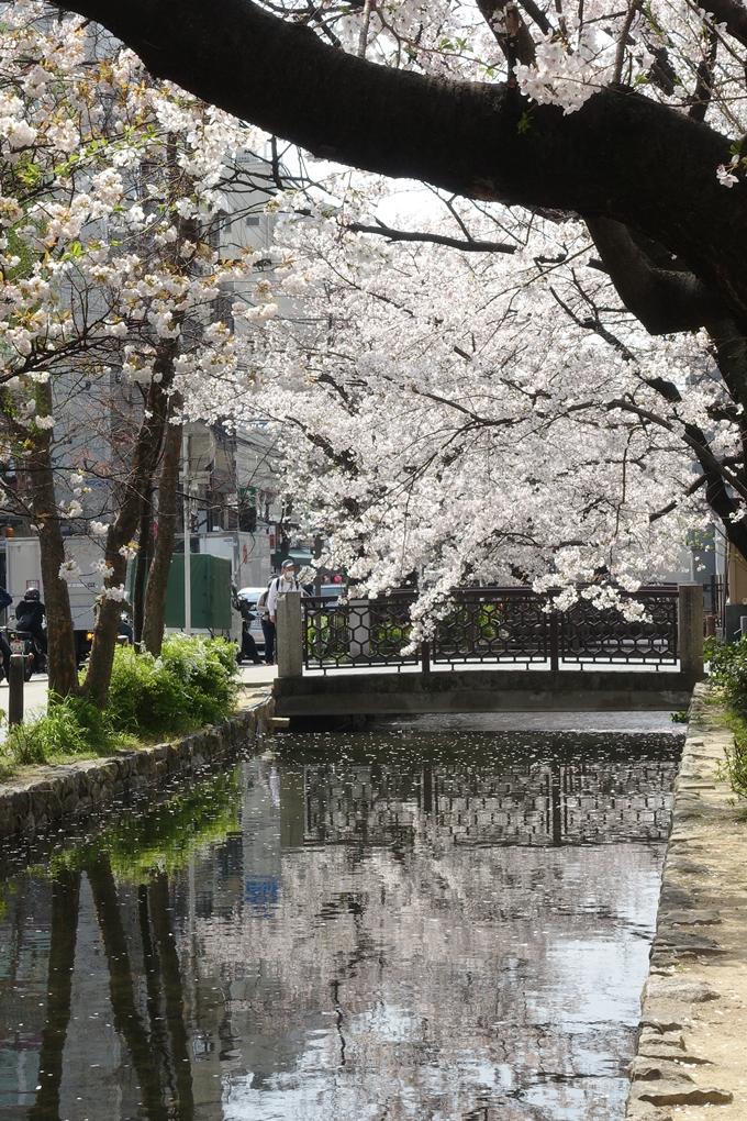 京都桜速報2019_29 No11