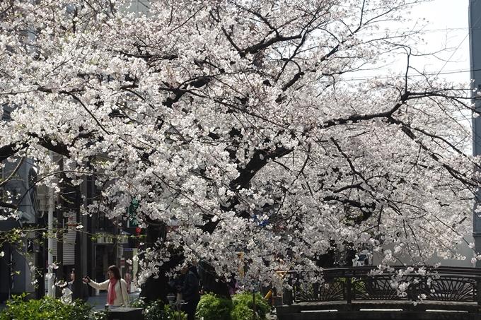 京都桜速報2019_29 No12