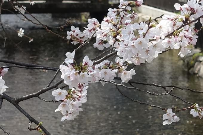 京都桜速報2019_29 No14