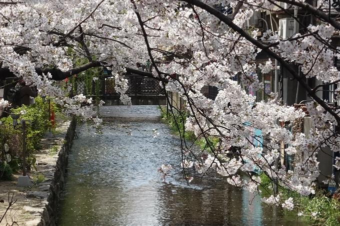 京都桜速報2019_29 No17