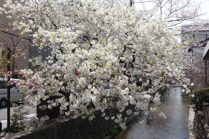 京都桜速報2019_29 No18
