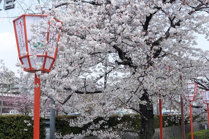 京都桜速報2019_28 No36