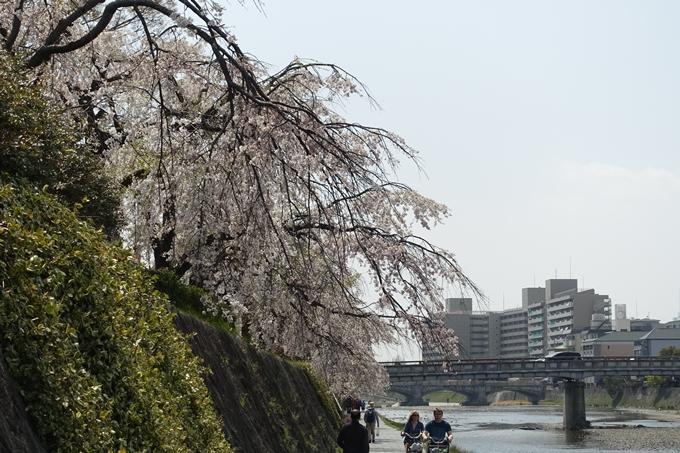京都桜速報2019_28 No37