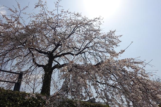 京都桜速報2019_28 No38