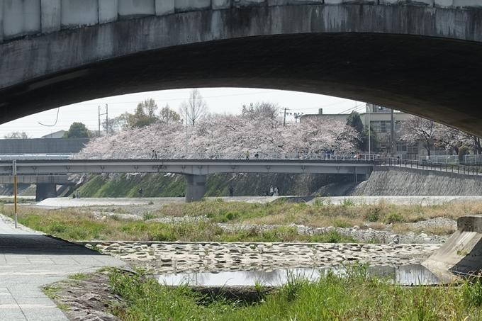 京都桜速報2019_28 No40