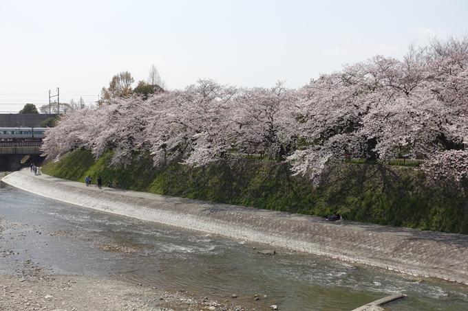 京都桜速報2019_28 No43