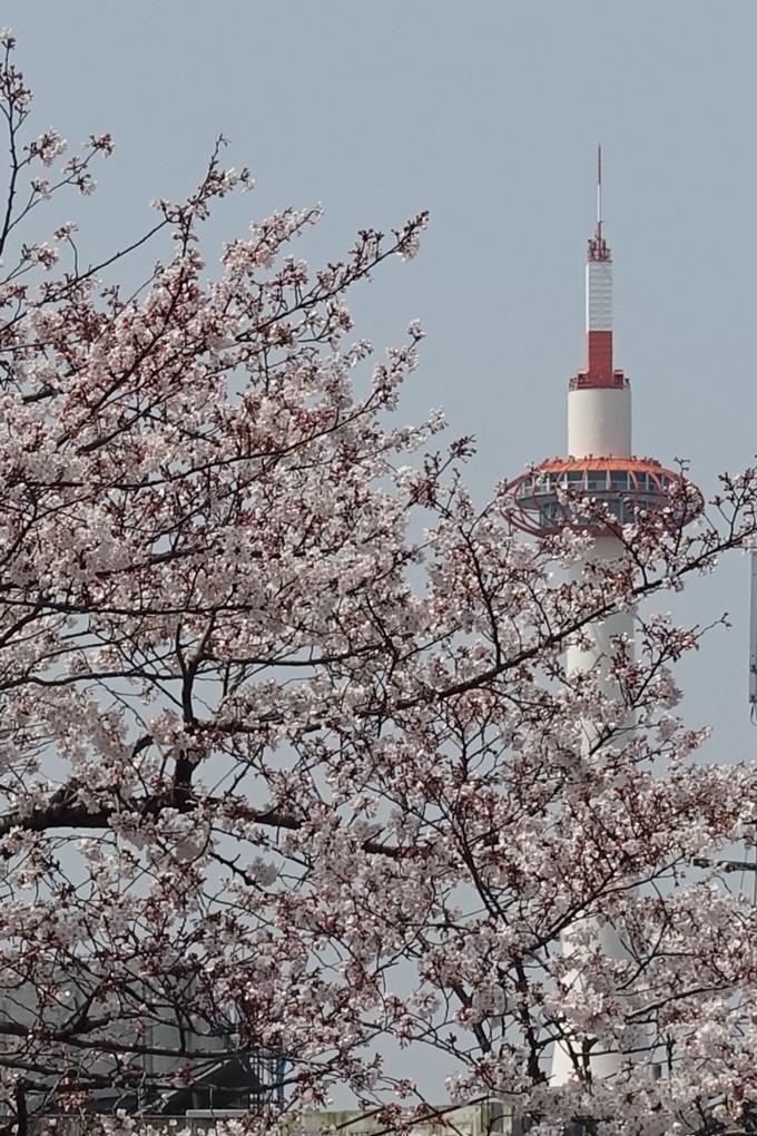 京都桜速報2019_28 No44