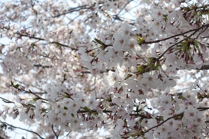 京都桜速報2019_28 No46