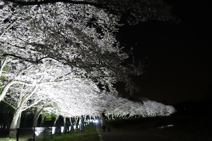 京都桜速報2019_30 No5