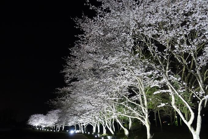 京都桜速報2019_30 No12