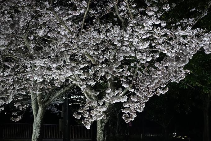 京都桜速報2019_30 No14