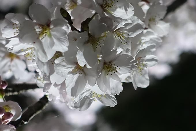 京都桜速報2019_30 No15