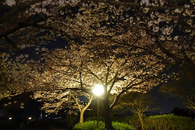 京都桜速報2019_41 No6