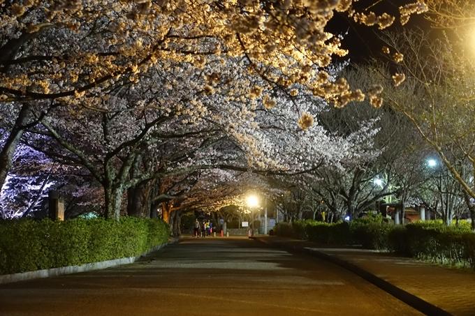 京都桜速報2019_41 No11