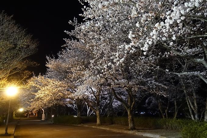京都桜速報2019_41 No12