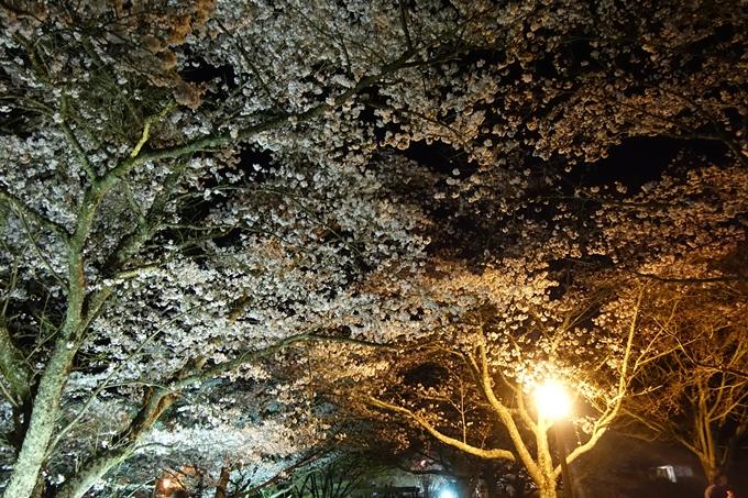 京都桜速報2019_41 No13