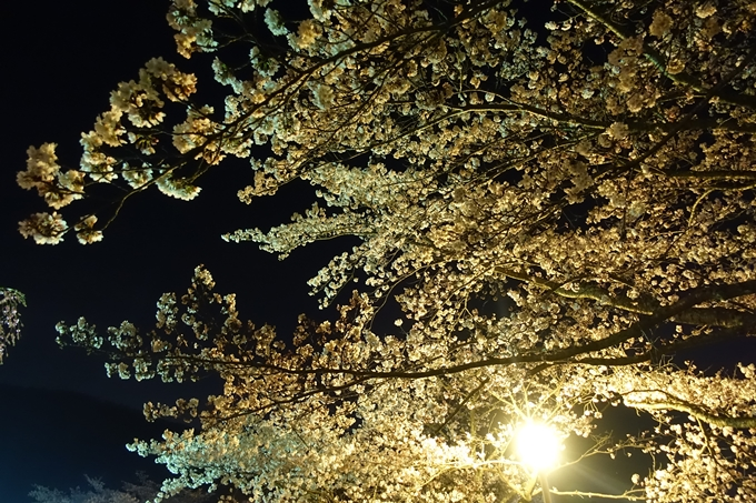 京都桜速報2019_41 No15